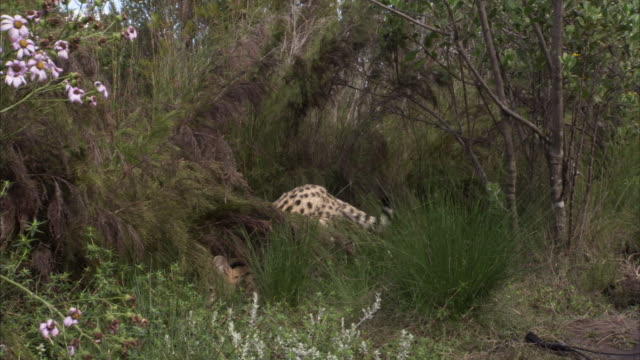 A young serval cat pounces in tall grass in South Africa. Available in HD