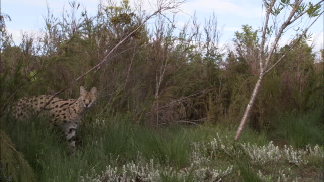 A young serval cat prowls through some brush in South Africa. Available in HD