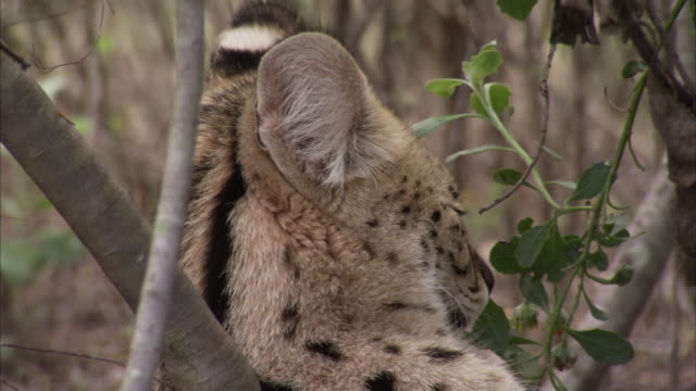 A young serval cat watches through bushes in South Africa. Available in HD