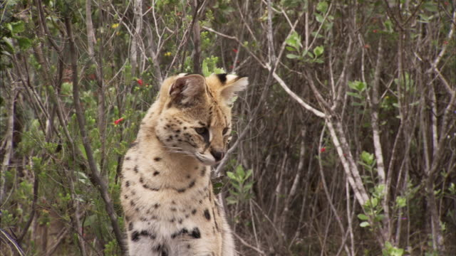 A young serval spots something and pounces in tall grass in South Africa Available in HD