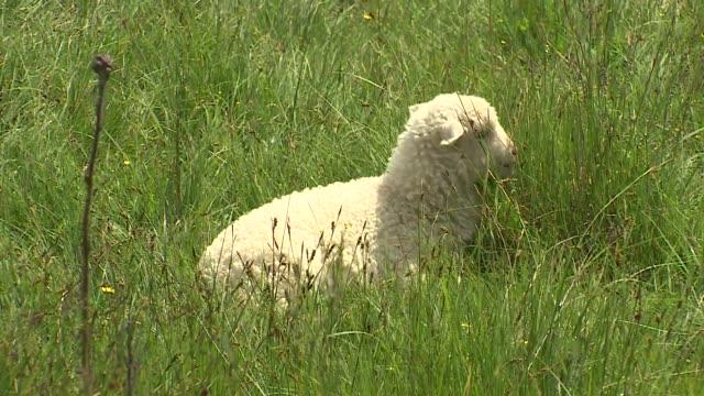 young sheep - lamb animal stock videos & royalty-free footage