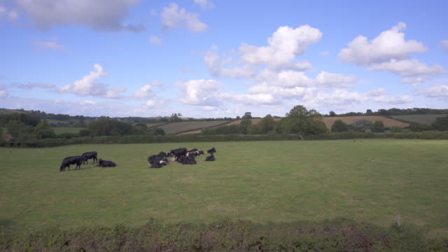 young sleepy friesian cattle in a summer field. - somerset stock videos & royalty-free footage