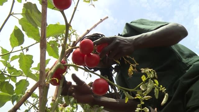 vidéos et rushes de young slum dwellers practising backyard farming in a slum in kampala uganda. - kampala