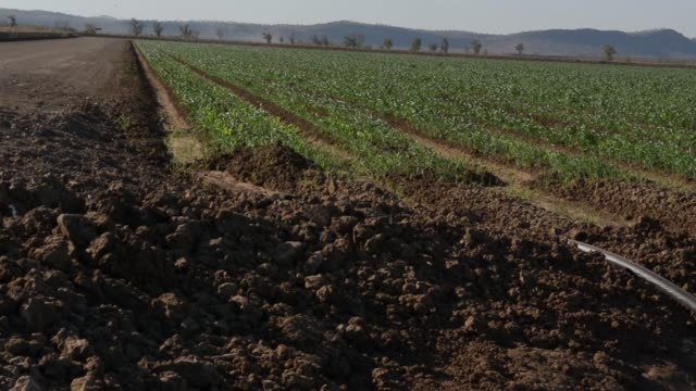 vídeos de stock e filmes b-roll de young sorghum plants grow on farmland operated by kimberley agricultural investment a subsidiary of shanghai zhongfu group in kununurra australia on... - sorgo família da relva