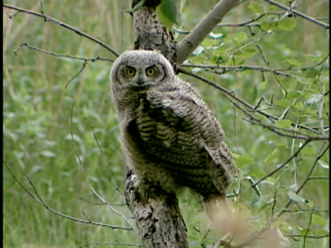 ms, young south american great horned owl (bubo virginianus nacurutu) on aspen tree, alberta, canada - aspen tree stock videos & royalty-free footage