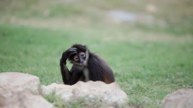 MS SELECTIVE FOCUS Young Spider Monkey (Monos aranas) scratching it's head / Playa Del Carmen, Quintana Roo, Mexico