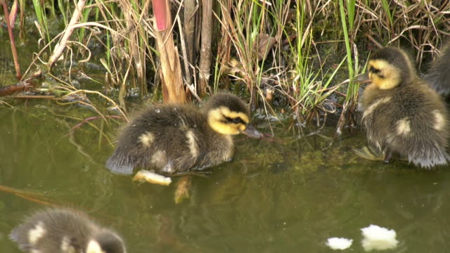 stockvideo's en b-roll-footage met young spot-billed ducks gethering - eend watervogel