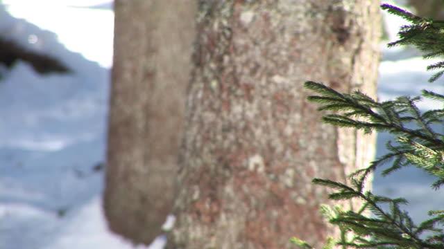 hd :若いトウヒ - 針状葉点の映像素材/bロール