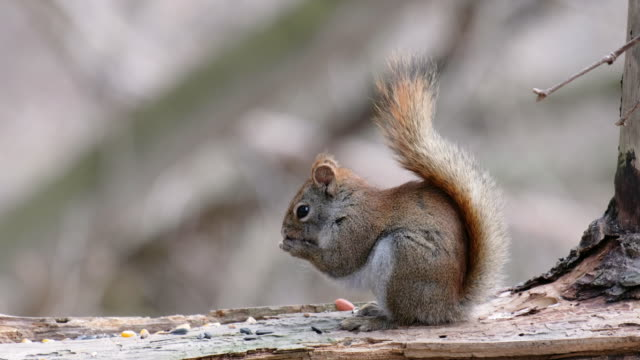 young squirrel - 30 seconds or greater stock videos & royalty-free footage