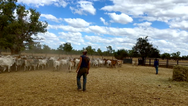 A young stockman works in the cattle yards following a Royal Flying Doctor Service Medical field day visit to Dunbar Station on July 27 2018 in...