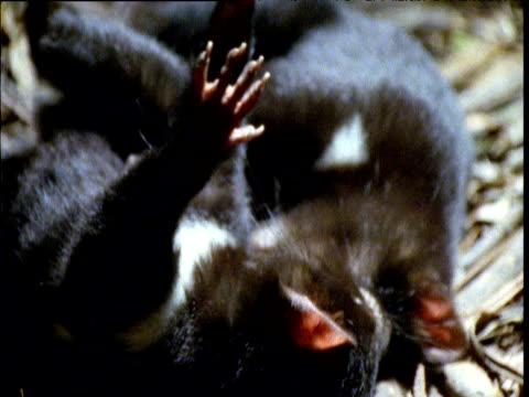 vídeos de stock, filmes e b-roll de young tasmanian devil cubs play fight in den, tasmania - marsupial