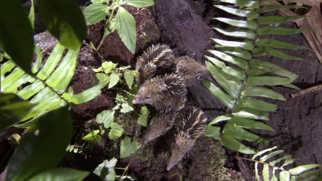 young tenrecs (tenrec ecaudatus) emerge from burrow on forest floor, madagascar - young animal stock videos & royalty-free footage