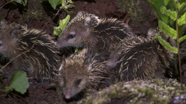 young tenrecs (tenrec ecaudatus) forage on forest floor, madagascar - young animal stock videos and b-roll footage