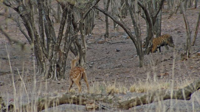 young tiger chasing spotted deer - hunting stock videos & royalty-free footage