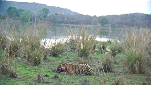 young tiger feeding - füttern stock-videos und b-roll-filmmaterial
