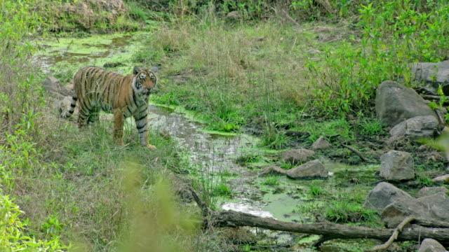 young tiger moving across the brook - wildlife stock videos & royalty-free footage