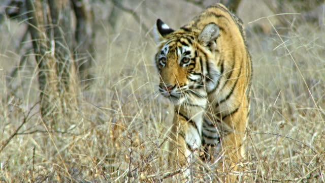 young tiger running out - biodiversity stock videos & royalty-free footage