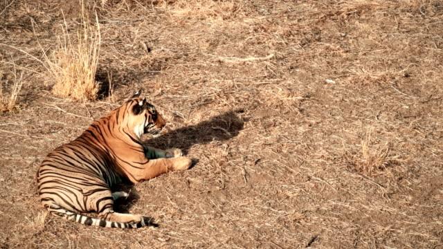 vídeos y material grabado en eventos de stock de un joven tigre sentado y limpiándose en el parque nacional ranthambore - animales acechando