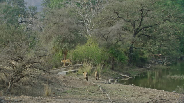 young tigers roaming near water - tropical rainforest stock videos & royalty-free footage