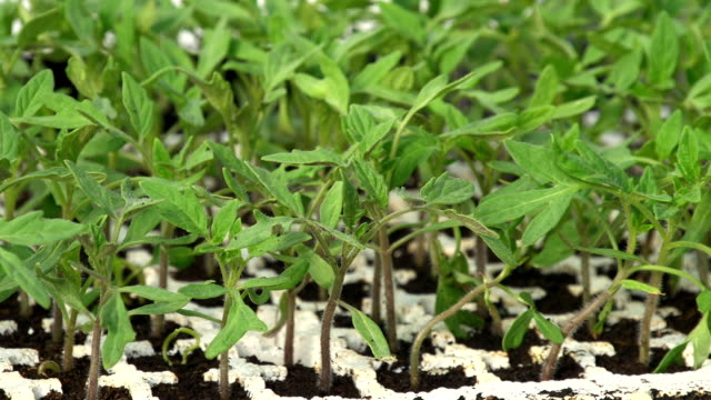 vídeos de stock, filmes e b-roll de hd dolly: jovem plantas de tomate - processo vegetal