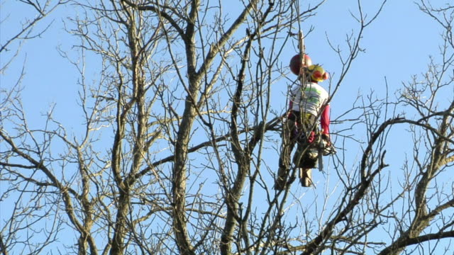ws la young tree trimmer hanging on crane on top of large ash tree, ann arbor, michigan, usa - ash tree stock videos & royalty-free footage