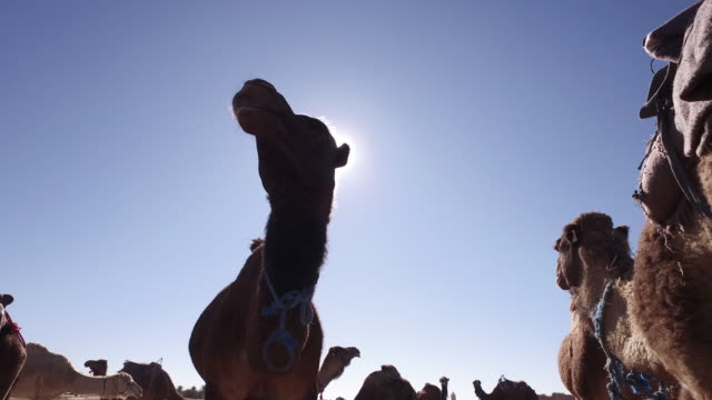 young tuareg feed camels on western sahara desert in africa - minority groups stock videos & royalty-free footage