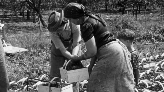 MONTAGE Young volunteer farm workers gathering gooseberries and black currants / United Kingdom
