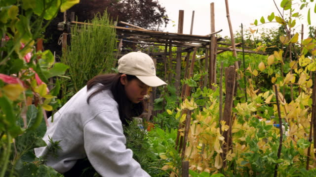 ms young volunteer working in community garden on summer morning - community garden stock videos & royalty-free footage