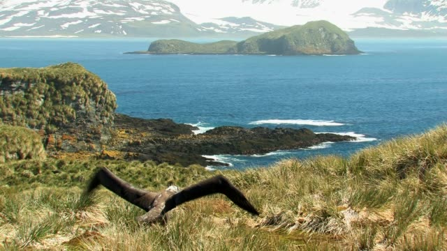 ms, young wandering albatross (diomedea exulans) flapping wings in grassy shoreline, bay and mountains in background, south georgia island, falkland islands, british overseas territory - insel south georgia island stock-videos und b-roll-filmmaterial