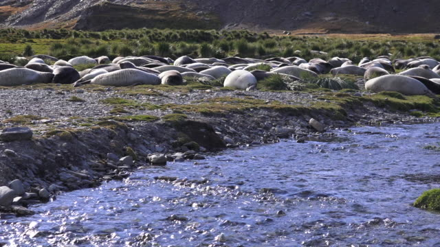 Young weaner Elephant Seals, lying next to glacial runoff river, South Georgia Island, Southern Ocean