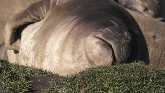 young weaner elephant seals, lying on beach, south georgia island, southern ocean - auf der seite liegen stock-videos und b-roll-filmmaterial