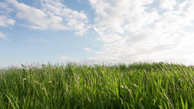 Young wheat growing in the field