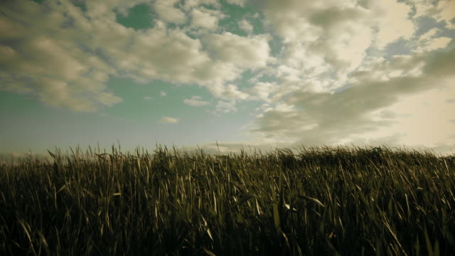 young wheat growing in the field (sepia toned) - sepia stock videos & royalty-free footage