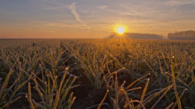 vídeos y material grabado en eventos de stock de cu ds joven plantas de trigo en puesta de sol - escarcha