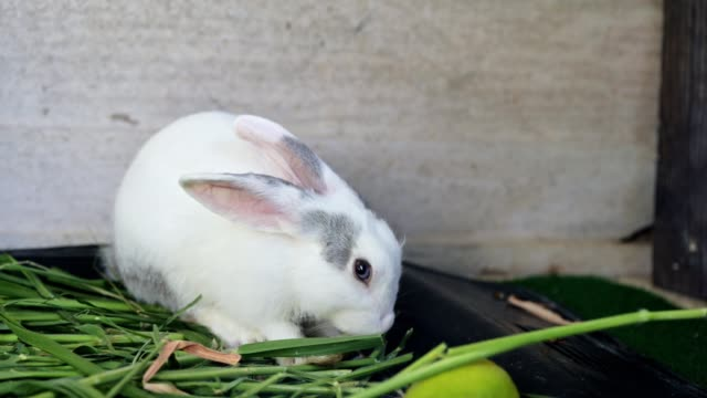 young white grey rabbit eating and chewing fruit - pets stock videos & royalty-free footage