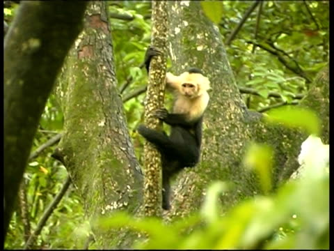 Young Whitefaced Capuchin, Cebus capucinus, clinging to a tree, MS, Panama, Central America