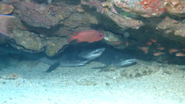 3 young whitetip reef sharks hiding under a rocky ledge, coiba national park panama. - shark stock videos & royalty-free footage