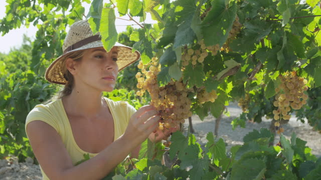 MS Young woman checking grapes in vineyard / near Jerez de la Frontera, Andalusia, Spain