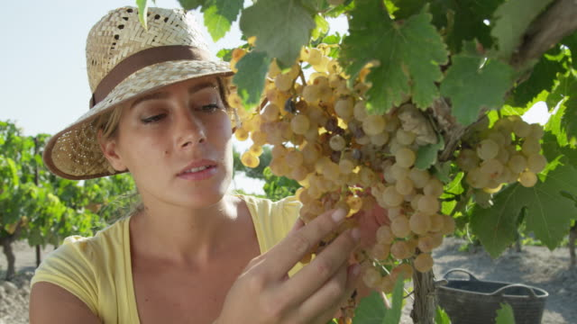 CU Young woman checking grapes in vineyard / near Jerez de la Frontera, Andalusia, Spain