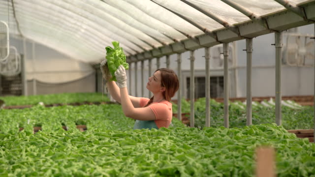 WS Young woman checking produce at a hydroponic farm.