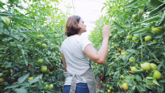 young woman checking the tomatoes production. - produttore video stock e b–roll