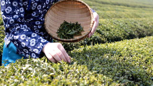 young woman collecting tea - tea crop stock videos & royalty-free footage
