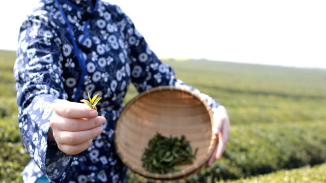 young woman collecting tea - basket stock videos & royalty-free footage