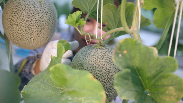 vídeos de stock e filmes b-roll de young woman farmer checking ripe melon in smart farm, organic hydroponic melon farm - melão de casca de carvalho