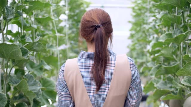 vídeos de stock e filmes b-roll de young woman farmer routine morning checking in smart melon farm, organic hydroponic melon farm - melão de casca de carvalho