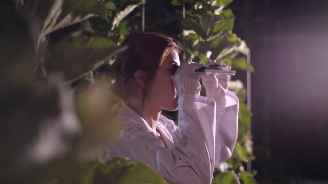 vídeos de stock e filmes b-roll de young woman farmer sweet testing melon in farm at night, organic hydroponic melon farm - melão de casca de carvalho