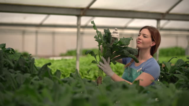MS Young woman growing kale in a hydroponic farm