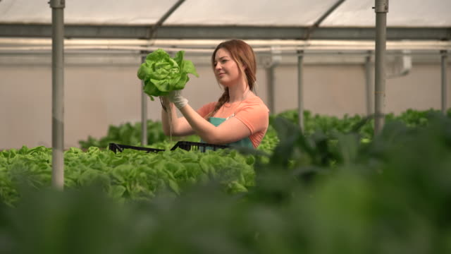 vídeos de stock e filmes b-roll de ms young woman harvesting lettuce in a greenhouse - alface