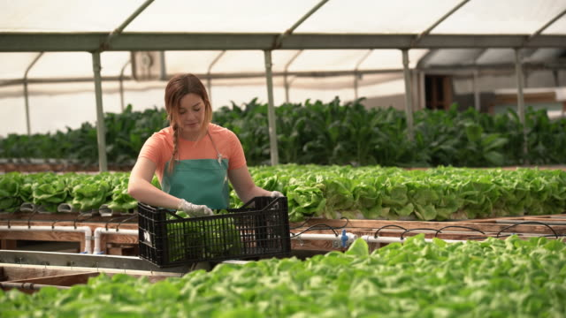 WS Young woman harvesting lettuce on a hydroponic farm