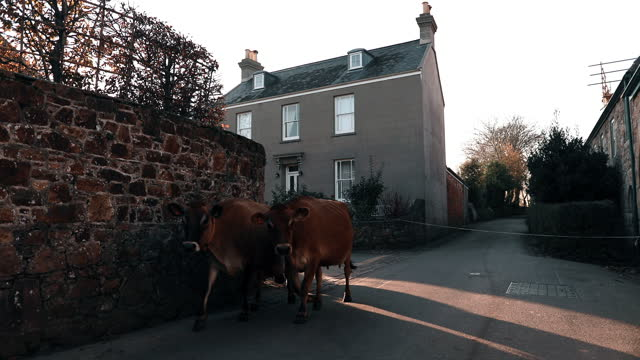 young woman herding cows through town - small group of animals stock videos & royalty-free footage